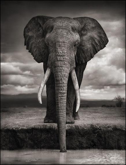 Nick Brandt Elephant Drinking, Amboseli, 2007 @ Edwynn Houk Gallery
